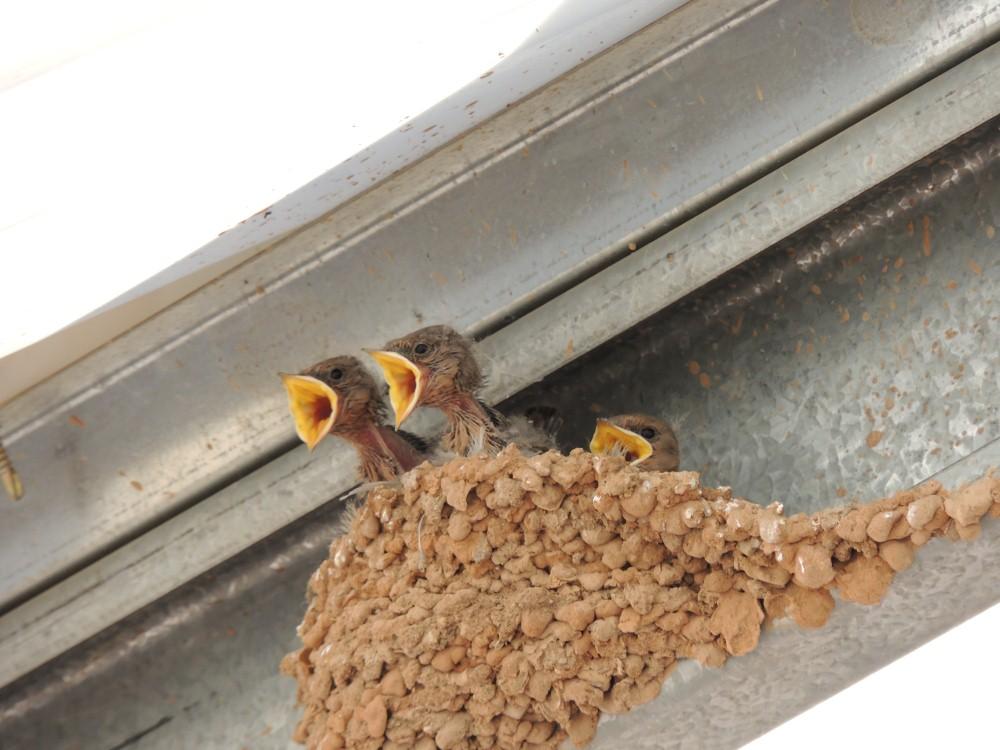 Swallows at Alte Kalkofen