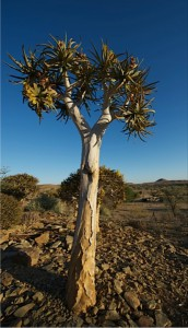 Quiver Trees are famous in Namibia